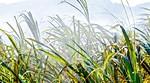 Attraverso il Canneto - through the cane thicket